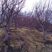 Land 4 bigha apple plantationd